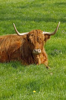 Free Highland Cattle, Kyloe Stock Photo - 14676690