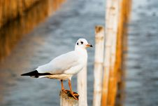 Free Seagull Royalty Free Stock Photo - 14676935
