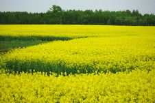 Free Rape Field Stock Image - 14677351