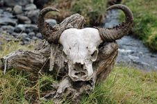 Free Wildebeest Skull Royalty Free Stock Images - 14677519