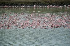 Free Pink Flamingos Stock Photo - 14677540