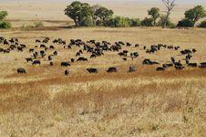 Free Herd Of Wildebeest Stock Photos - 14677583