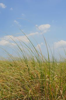 Free Tall Beach Grasses Royalty Free Stock Image - 14677996