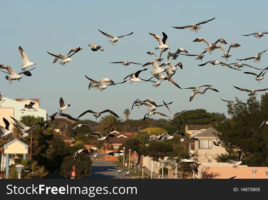 Western Sea Gull Flock Flying