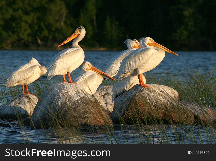 Pelicans on Rocks in the Reeds