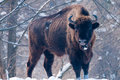 Free European Bison (Bison Bonasus), Male Stock Photography - 14681362