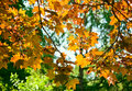 Free Autumn  Maple Leaves Royalty Free Stock Image - 14682286