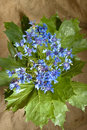 Free Bouquet Of Blue Cornflowers Stock Images - 14684044
