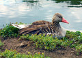 Free Duck Ashore Lake Stock Image - 14684611