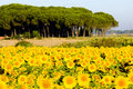 Free Sunflower Field Royalty Free Stock Images - 14687189