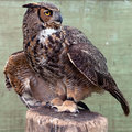 Free Great Horned Owl Stock Photos - 14687403