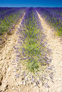 Free Lavender Field Royalty Free Stock Images - 14687699
