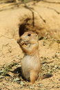 Free Baby Prairie Dog Standing Upright And Eating Royalty Free Stock Photos - 14687828
