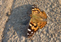 Free Painted Lady Butterfly Stock Photography - 14687952