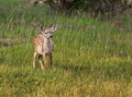 Free Fawn In Field Stock Photography - 14688662