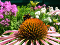 Free Bumblebee On A Flower Echinacea Stock Photo - 14688690