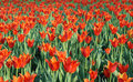 Free Field Of Red Tulips Royalty Free Stock Photos - 14689368