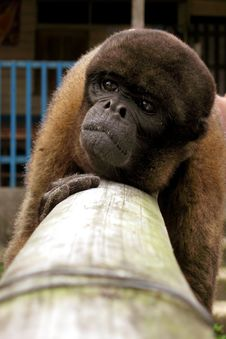 Free Chimpanzee Royalty Free Stock Images - 14680409