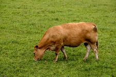 Free Cow Royalty Free Stock Image - 14681006