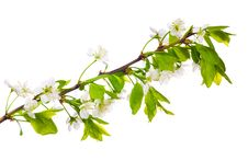 Free Spring Cherry White Flowers Stock Photo - 14681270