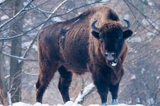 European Bison (Bison Bonasus), Male