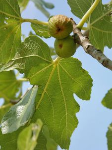 Figs (ripe And Dried) In A Tree With Leaves Stock Photo