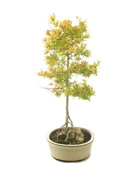 Free Bonsai Granado Royalty Free Stock Images - 14682699