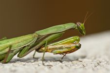 Free Mantis Stock Photography - 14682722