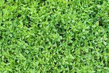 Free Green Grass Royalty Free Stock Photography - 14683007