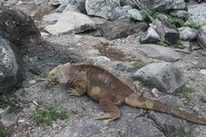 Free Land Iguana In Galapagos Islands Royalty Free Stock Images - 14683379
