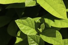 Free Ripe,green Leaves Of Cherry Laurel Royalty Free Stock Images - 14683479
