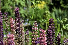Free Colorful Lupine In The Garden Stock Photo - 14683510
