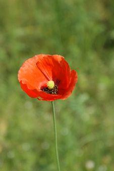 Free Red Poppy. Stock Photos - 14684303