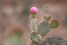 Free Bumble Bee Meets Prickly Pear Stock Photos - 14685333