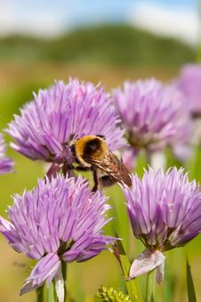 Free Bumblebee On A Purple Flower 1 Royalty Free Stock Image - 14686096
