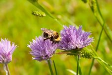 Free Bumblebee On A Purple Flower 2 Stock Photos - 14686123
