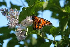 Free Monarch Spring Royalty Free Stock Photo - 14686145