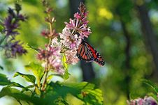 Free Monarch On Lilac Stock Image - 14686231