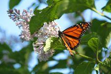Free Monarch  Morning Royalty Free Stock Photos - 14686238