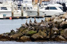 Free Pelicans Royalty Free Stock Image - 14686256