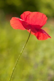Free Poppy Royalty Free Stock Photo - 14686515