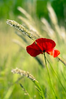 Free Poppy Stock Images - 14686524