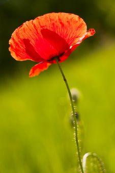 Free Poppy Royalty Free Stock Image - 14686536