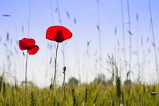 Free Poppy Royalty Free Stock Images - 14686559