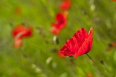 Free Poppy Stock Photography - 14686572