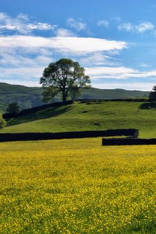 Free Field Of Buttercups, Wall, & Tree Stock Images - 14686814