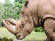 Free Large Rhino Royalty Free Stock Photo - 14686835