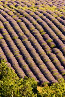 Free Lavender Field Royalty Free Stock Photos - 14686868