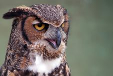Free Great Horned Owl Stock Photography - 14687402