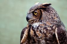 Free Great Horned Owl Royalty Free Stock Photo - 14687405